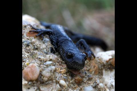 This former oil refinery is home to protected species including great crested newts